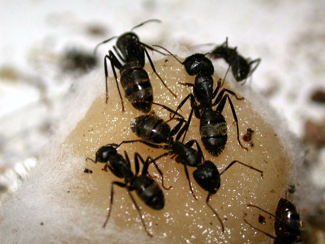 Carpenter ant photo.