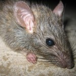 Rat control solutions in Toronto.