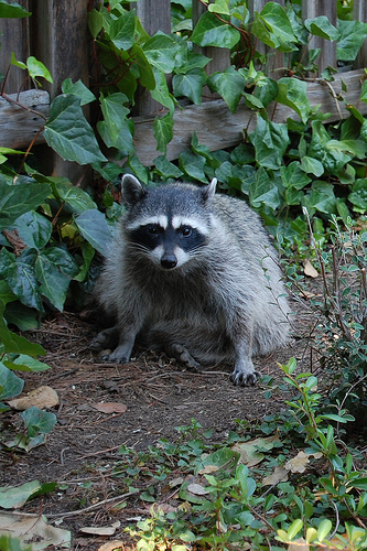 how to deal with raccoons in your backyard