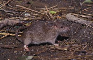 Brown rats in Toronto