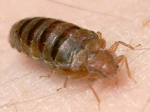 A bed bug feeding on an arm.