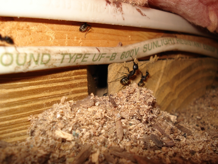 Carpenter Ants Sawdust Piles ~ The signs of an ant infestation pest control toronto