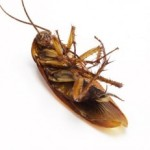 Natural cockroach control methods.