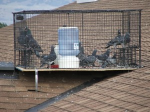 Pigeon removal through trapping.