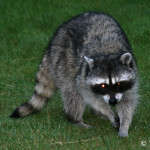 Natural Raccoon Repellents