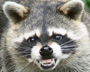 Residential raccoon controll in Toronto.