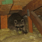 A raccoon hiding in the attic.