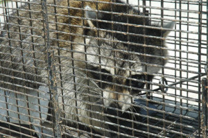 Raccoon removal technicians in Toronto