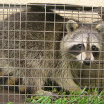 Live raccoon trapped in cage trap.