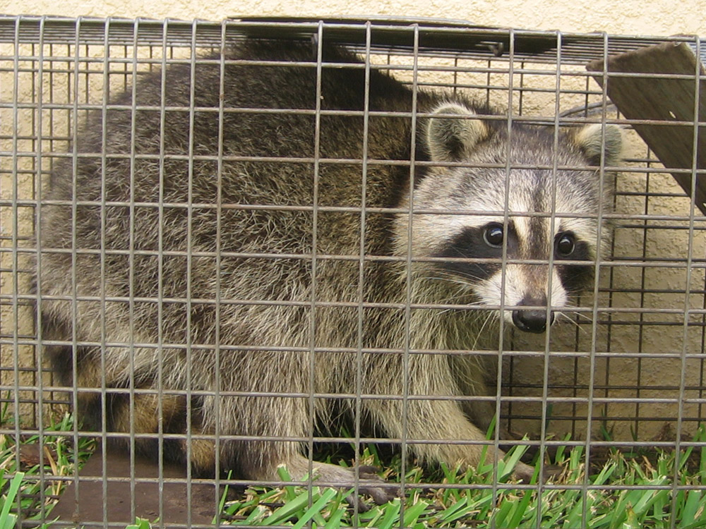 Tips On How To Trap A Raccoon Humanely