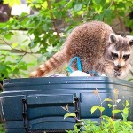 Toronto Raccoon Deterrents
