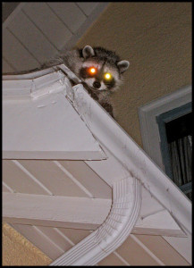 Night-time photo of a raccoon on a roof.