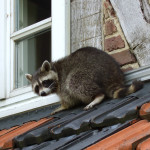 raccoon_control
