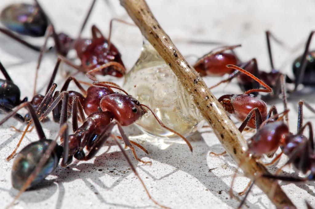 Ant Extermination - ant exterminator Toronto