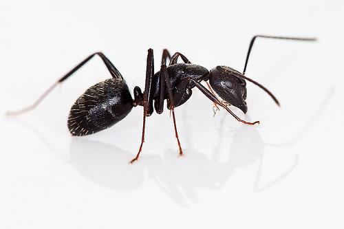 Getting Rid of Carpenter Ants - ant exterminator Toronto