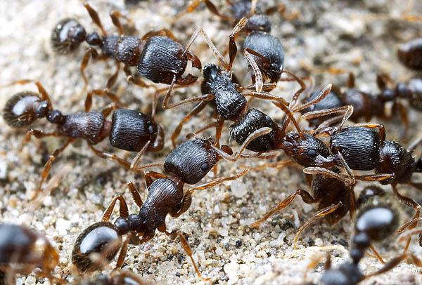 pavement ants - ant exterminator Toronto