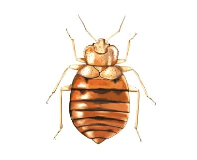 Bed Bug Inspection services in Toronto.