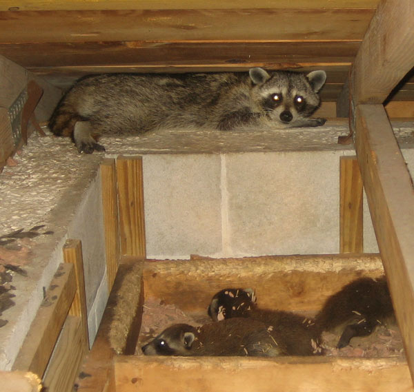 Tips On How To Raccoon Proof Your Attic Raccoon Proofing