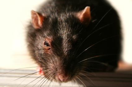 Black Rat closeup