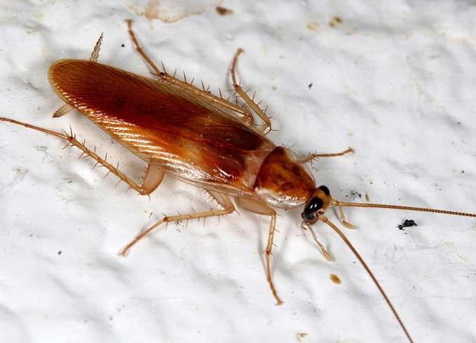 brown banded cockroach - Cockroach Control Toronto