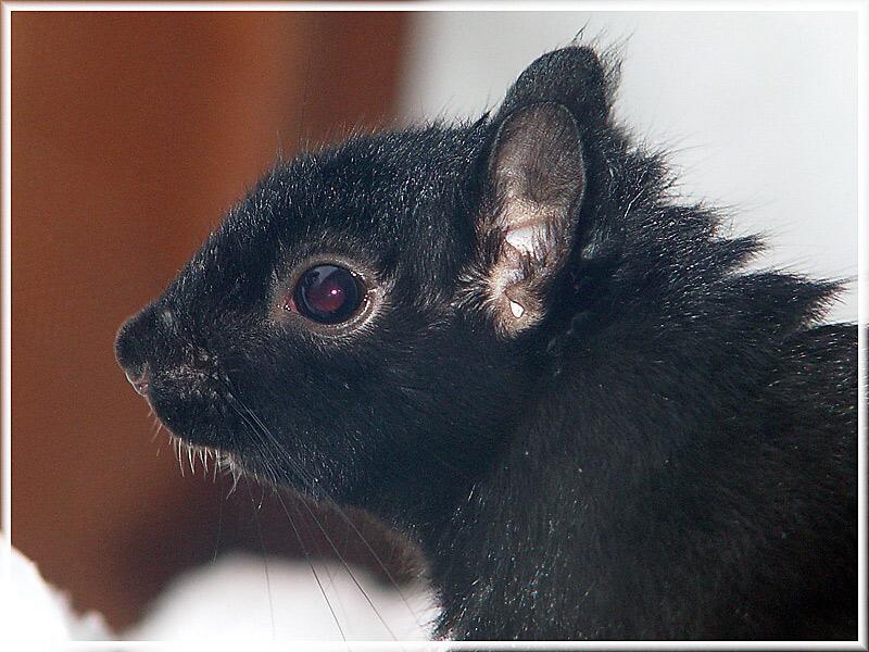 Black Squirrel Closeup
