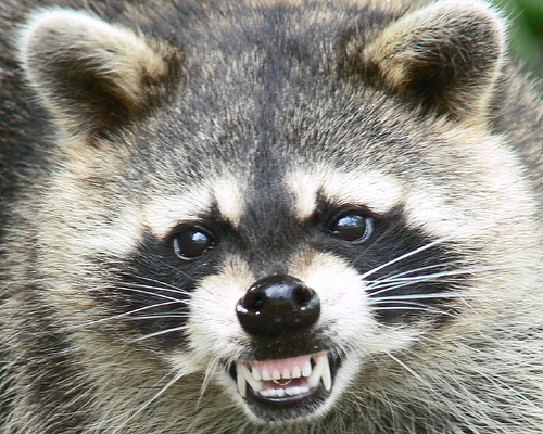 Residential raccoon removal in Toronto.