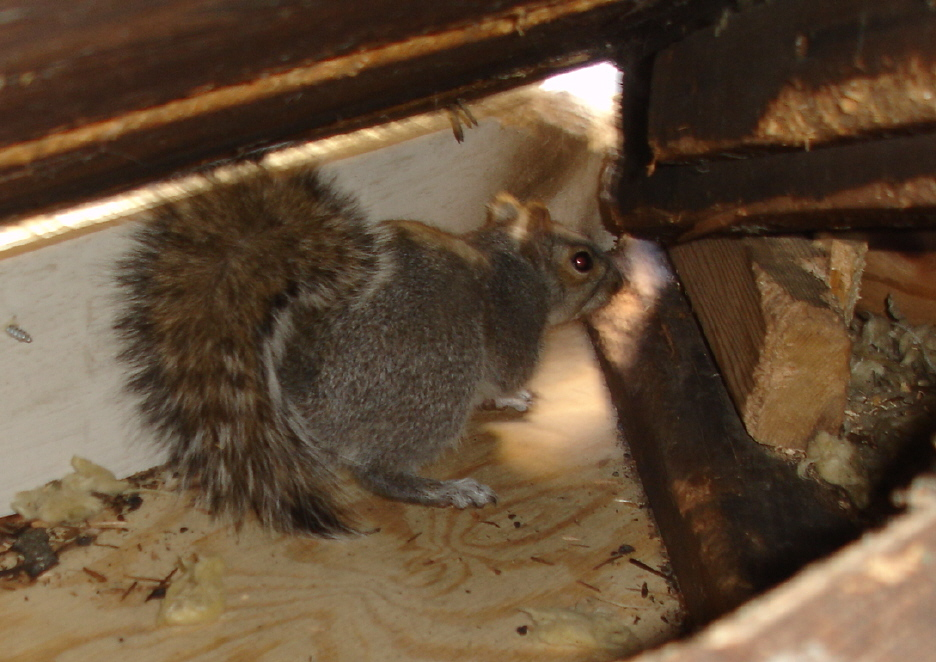 How To Keep Squirrels Away From Your Attic Pest Control