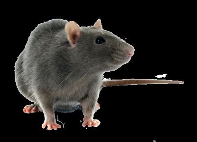 Rat Exterminator Toronto